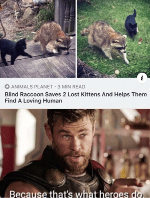 The most heroic raccoon I've ever seen in my life: i  ANIMALS PLANET 3 MIN READ  Blind Raccoon Saves 2 Lost Kittens And Helps Them  Find A Loving Human  Because that's what heroes do. The most heroic raccoon I've ever seen in my life