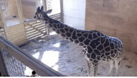 I can't not see dickbutt on April the giraffe. Please help.: I can't not see dickbutt on April the giraffe. Please help.