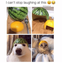 """See this is the difference between dogs and cats right here Bruh. Right here. Doggo chillin. He don't love the idea of a fruit helmet but he just chillin like """"lemme know when we done so I can go pee on a tree 💦🌳😀."""" The cat, aww hell nah. Aw HELL nah. She litchrally plotting in her mind what she gon say to u on the car ride home: """"Oh so that was funny to you. The lemon on my head was funny...to you. You know what this is feeling very one-way. Very, very one-way. I'm starting to make a list in my mind of what's in it for me...in this relationship. It's a short list, smash. It's like a grocery list, but not, like, a Costco list, you know? But like a list of three things I need for a quick grocery run and let me be clear - I like those three things - a LOT - ok? But there's a whoooole lot I'm NOT getting. Do you know what that feels like, smash? Do you? NO. I DON'T THINK YOU DO. IN FACT...I KNOW YOU DON'T. NO. NO. I DIDN'T SAY YOU COULD TALK YET. THAT'S ANOTHER THING. YOU INTERRUPT. LET ME FINISH SMASH. WE STILL HAVEN'T TALKED ABOUT LAST WEEK. THE LEMON HELMET IS THE TIP OF THE ICE BERG. THERE'S A LOT TO TALK ABOUT TONIGHT. GET COMFORTABLE SMASH..."""" 😫😂😂😂: I can't stop laughing at this  e  Dr Smashlove See this is the difference between dogs and cats right here Bruh. Right here. Doggo chillin. He don't love the idea of a fruit helmet but he just chillin like """"lemme know when we done so I can go pee on a tree 💦🌳😀."""" The cat, aww hell nah. Aw HELL nah. She litchrally plotting in her mind what she gon say to u on the car ride home: """"Oh so that was funny to you. The lemon on my head was funny...to you. You know what this is feeling very one-way. Very, very one-way. I'm starting to make a list in my mind of what's in it for me...in this relationship. It's a short list, smash. It's like a grocery list, but not, like, a Costco list, you know? But like a list of three things I need for a quick grocery run and let me be clear - I like those three things - a LOT - ok? But there's """