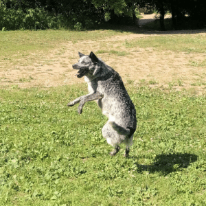 Good, Today, and Boy: I caught my good boy mid jump at the dog park today