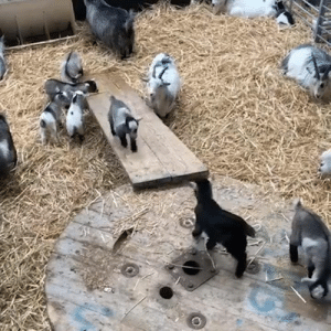 I could never work on this farm because all I would do is watch these baby goats sliding all day 😂😍  Credit: Cannon Hall Farm: I could never work on this farm because all I would do is watch these baby goats sliding all day 😂😍  Credit: Cannon Hall Farm