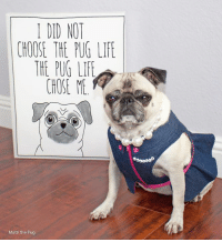 Life, Memes, and Pugs: I DID NOT  CHOOSE THE PUG LIFE  THE PUG LIFE  CHOSE ME  Matti the Pug You got that right!!!