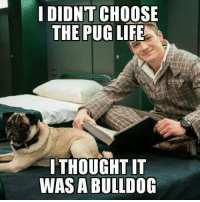 Life, Memes, and Bulldog: I DIDNT CHOOSE  THE PUG LIFE  ITHOUGHT IT  WAS A BULLDOG