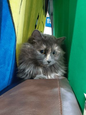 I didn't feel like taking my green screen down when I switched backgrounds for stream.. Bella enjoyed the new hiding spot on the back of the couch.: I didn't feel like taking my green screen down when I switched backgrounds for stream.. Bella enjoyed the new hiding spot on the back of the couch.