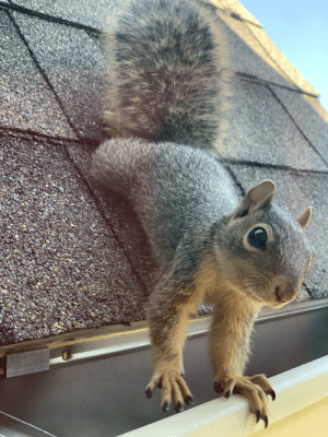 I don't own any pets, so here is a squirrel on the roof of my house!: I don't own any pets, so here is a squirrel on the roof of my house!