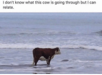 cow: I don't know what this cow is going through but I carn  relate.