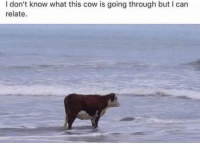 Cow, Can, and What: I don't know what this cow is going through but I can  relate.