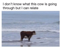 cow: I don't know what this cow is going  through but I can relate
