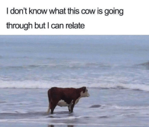 Ocean, Cow, and Can: I don't know what this cow is going  through but I can relate Steak by the ocean