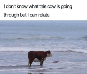 Cow, Can, and What: I don't know what this cow is going  through but I can relate Cow