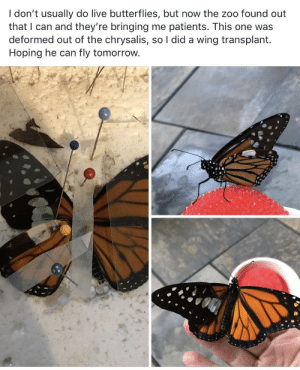 Wholesome butterfly :): I don't usually do live butterflies, but now the zoo found out  that I can and they're bringing me patients. This one was  deformed out of the chrysalis, so I did a wing transplant  Hoping he can  fly tomorrow. Wholesome butterfly :)