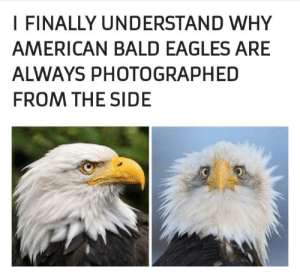 Dank, Philadelphia Eagles, and Memes: I FINALLY UNDERSTAND WHY  AMERICAN BALD EAGLES ARE  ALWAYS PHOTOGRAPHED  FROM THE SIDE Not very intimidating by muneebdilshad MORE MEMES