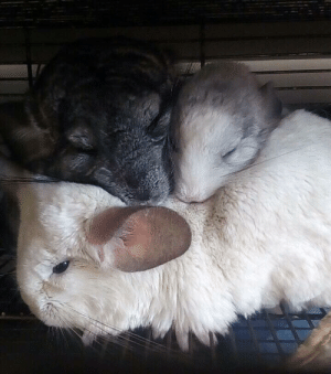 I find lack of chinchilla families in this subreddit disturbing: I find lack of chinchilla families in this subreddit disturbing