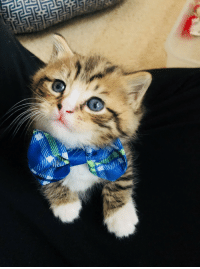 Got, Cat, and Kitten: I got my kitten a bowtie collar