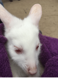 Today, Got, and Joey: I got to hold an albino Wallaby Joey today! He is so soft!
