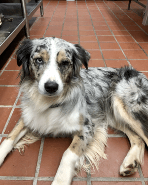 I had the privilege of hanging out with Willow recently and now I desperately want an Australian Shepherd.: I had the privilege of hanging out with Willow recently and now I desperately want an Australian Shepherd.