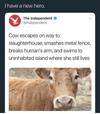 <p>Not all heroes wear capes</p>: I have a new hero  The Independent  @Independent  Cow escapes on way to  slaughterhouse, smashes metal fence,  breaks human's arm, and swims to  uninhabited island where she still lives <p>Not all heroes wear capes</p>