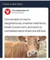 😩😂: I have a new hero  The Independent  @Independent  Cow escapes on way to  slaughterhouse, smashes metal fence  breaks human's arm, and swims to  uninhabited island where she still lives 😩😂