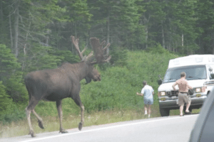 Deer, Funny, and Never: I have gone 26 years on this planet and I never knew that moose were this big. I thought they were slightly bigger than deer. via /r/funny https://ift.tt/2O3b3dK