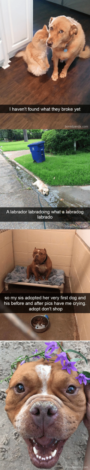 babyanimalgifs:  More dog snapsvia boredpanda.com @animalsnaps​: I haven't found what they broke yet  boredpanda.com   A labrador labradoing what a labradog  labrado  boredparida.co   so my sis adopted her very first dog and  his before and after pics have me crying.  adopt don't shop  oredpanda.com babyanimalgifs:  More dog snapsvia boredpanda.com @animalsnaps​