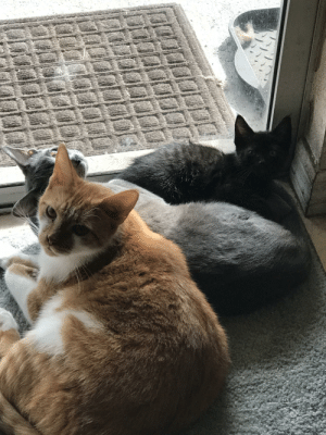 I heard it's national cat day, so here's a pic of all three of my babies enjoying the Florida heat.: I heard it's national cat day, so here's a pic of all three of my babies enjoying the Florida heat.