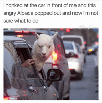 Funny, Alpaca, and The Cars: I honked at the car in front of me and this  angry Alpaca popped out and now I'm not  sure what to do YOU GET OUT, APOLOGIZE, AND PET IT THATS WHAT YOU DO YOU MONSTER lol (@donny.drama)