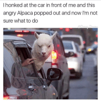 Tumblr, Alpaca, and The Cars: I honked at the car in front of me and this  angry Alpaca popped out and now I'm not  sure what to do So much has happened and I don't know how to breathe. - Kiley 🌼