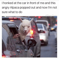 I wouldn't mess with him 😖: I honked at the car in front of me and this  angry Alpaca popped out and now I'm not  sure what to do I wouldn't mess with him 😖