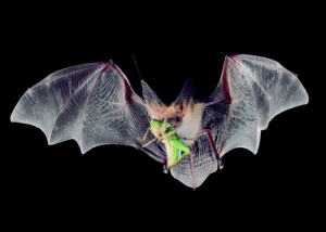 Insect-eating bats navigate effortlessly in the dark and dolphins and killer whales gobble up prey in murky waters thanks in part to specific changes in a set of 18 genes involved in the development of the cochlear ganglion — a group of nerves that transmit sound from the ear to the brain.: i Insect-eating bats navigate effortlessly in the dark and dolphins and killer whales gobble up prey in murky waters thanks in part to specific changes in a set of 18 genes involved in the development of the cochlear ganglion — a group of nerves that transmit sound from the ear to the brain.