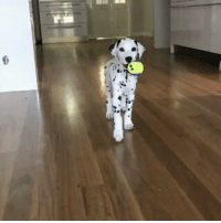 Jasper the Dalmatian may have made the cutest video of all time. cc @jasper_the_dalmatian: @i Jasper the Dalmatian may have made the cutest video of all time. cc @jasper_the_dalmatian