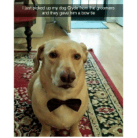 """Funny, Dog, and Red: I just picked up my dog Clyde from the groomers  and the  gave him a bow tie """"Stop laughing Susan, you know I wanted it red, this is not funny you are embarrassing me"""" (@hilarious.ted)"""