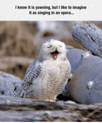 <p>Tenor Owl.</p>: I know it is yawning, but I like to imagine  it as singing in an opera... <p>Tenor Owl.</p>