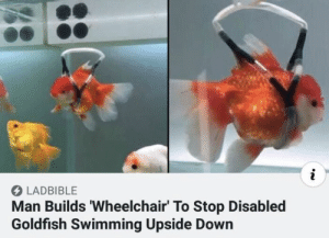 https://t.co/ri0vQDv3X1: i  LADBIBLE  Man Builds 'Wheelchair' To Stop Disabled  Goldfish Swimming Upside Down https://t.co/ri0vQDv3X1