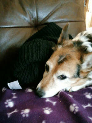 I left a jumper on the sofa before going to work. My mum then messaged me this photo- my 14 year old pupper had dragged it onto his blanket and snuggled next to it...so now I can't leave the house ever again: I left a jumper on the sofa before going to work. My mum then messaged me this photo- my 14 year old pupper had dragged it onto his blanket and snuggled next to it...so now I can't leave the house ever again