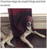 Dogs, Funny, and Love: I love how dogs do stupid things and look  so proud Congrats buddy you're a curtain
