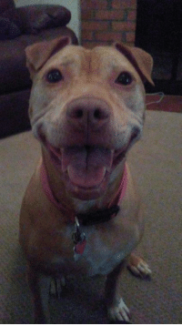 Memes, Bulls, and A Big Smile: I love how pit bulls give a BIG smile! :D  Thanks for sharing this lovely photo, Nadine :)