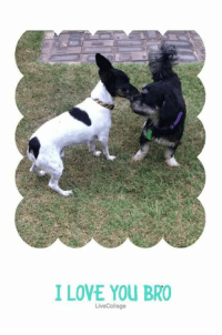 Foster mum reckons she snapped us kissing. We were SO NOT kissing. We're brothers and we were totally wrestling! You better not post that photo foster mum…  Snoopy and Choco are still looking for their forever home! Do you have space for this easy-going duo in your home and heart? They're dog, child and cat friendly, entertain themselves while you're at work (wrestling of course, no kissing eww) and love their daily walks with their foster parents. Apply to meet them today!: I LOVE YOU BRO  Live Collage Foster mum reckons she snapped us kissing. We were SO NOT kissing. We're brothers and we were totally wrestling! You better not post that photo foster mum…  Snoopy and Choco are still looking for their forever home! Do you have space for this easy-going duo in your home and heart? They're dog, child and cat friendly, entertain themselves while you're at work (wrestling of course, no kissing eww) and love their daily walks with their foster parents. Apply to meet them today!