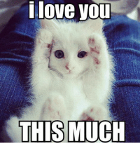 This is how much your kitty loves you!: i love you  THIS MUCH This is how much your kitty loves you!