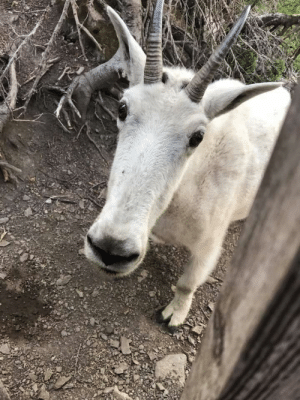 I met a mountain goat while in Montana. I named him Fred!
