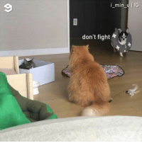 9gag, Chihuahua, and Memes: i_min_u IG  don't fight + A So much going on in one video - 📸@i_min_u - chihuahua 9gag