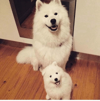 Memes, 🤖, and Samoyed: I need one. Photo by @we_love_samoyeds follow @creaturesarelife for more cute pics!