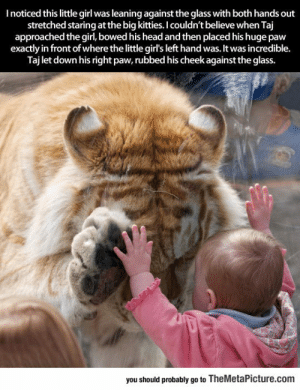 laughoutloud-club:  Tiger Makes Adorable Connection With Tiny Human: I noticed this little girl was leaning against the glass with both hands out  stretched staring at the big kitties. I couldn't believe when Taj  approached the girl, bowed his head and then placed his huge paw  exactly in front of where the little girl's left hand was. It was incredible.  Taj let down his right paw, rubbed his cheek against the glass.  bewhe itle girlsleft hand was,it  you should probably go to TheMetaPicture.com laughoutloud-club:  Tiger Makes Adorable Connection With Tiny Human