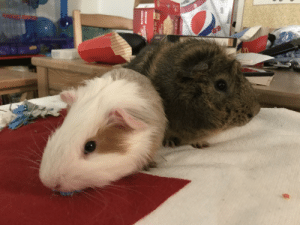 I posted this on r/guineapigs and r/aww, but thought they should go here too. Percy (left) Zeus (right): I posted this on r/guineapigs and r/aww, but thought they should go here too. Percy (left) Zeus (right)