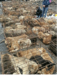 """Animals, Bad, and Dogs: I posted this so that everyone could be informed about this horrid case.  """"March 2nd, 2013, in Chongqing, China, a truck was found transporting more than 900 dogs, distributing them to restaurants, slaughterhouses. These are family owned lost/stolen pets (some of them still have colors on). This truck was stopped by a group of volunteers and fortunately, the dogs are saved. By the time they were found, most of them are in very bad health conditions and only few of them were found by their owners. Through out the entire day of rescuing, these volunteers did not get any help from the government.  This is a wake up call to everyone in China. It is sad and unfortunate that a big country like does not have any laws/regulations on serious matters like this. They are not just animals, they are someone's family member. People who treat them like this should be punished by law.  I cried for an hour reading blogs and pictures posted by volunteers. The only thing I can do to help is help spreading around the word so people from all over the world can pay attention to this matter. All the animal lovers out there please help me spread around the word, thank you!"""" Michelle Zhu  """"I am suffocating just looking at these photos of these poor animals I can't even breathe because of empathy, this is far worse than inhumane. My rage side wants to have authorities arrest these idiots, and feed them to these poor, thirsty, tired, hungry, dogs full of love, sweetness and much deserving of respect, love, and dignity. My loving side knows Humankind can come together with the same Chinese Volunteers who are the pioneers in their country to save man's best friends, felines, monkeys, to other species as we have become so desensitized on how we treat other beings on this earth. Slowly but surely we will help each other evolve from subhumans to consciously loving beings. I believe there are more good-hearted heroes with laser focus and by sharing this compassion, all ignor"""