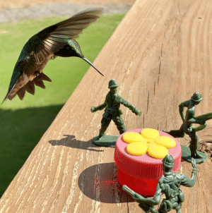 I put some Army men by my hummingbird feeder. The result was even better than anticipated.: I put some Army men by my hummingbird feeder. The result was even better than anticipated.
