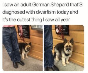 Little good boy via /r/memes http://bit.ly/2XeLQ04: I saw an adult German Shepard that'S  diagnosed with dwarfism today and  it's the cutest thing l saw all year  ING Little good boy via /r/memes http://bit.ly/2XeLQ04