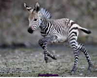 I see your adorable baby skunk and raise you a happy little zebra!: I see your adorable baby skunk and raise you a happy little zebra!