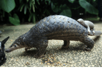 I see your baby skunk and raise you a baby Pangolin!: I see your baby skunk and raise you a baby Pangolin!