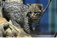 I see your baby skunk I raise you this baby ocelot: I see your baby skunk I raise you this baby ocelot