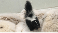 I see your warthog, and I raise you this baby skunk.: I see your warthog, and I raise you this baby skunk.